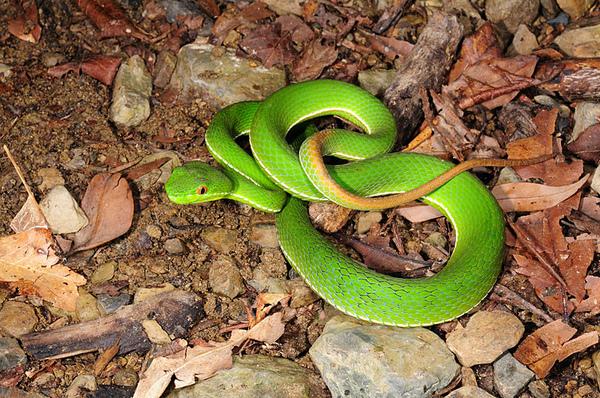 在旁邊看我們拍高砂蛇的綠朋友