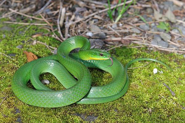 上山途中遇見的青蛇(Cyclophiops major)