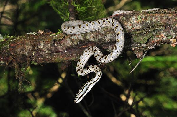 非常稀有的灰腹綠錦蛇幼蛇
