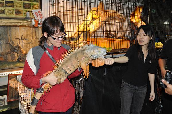 好帥的大綠鬣蜥(Iguana iguana)!