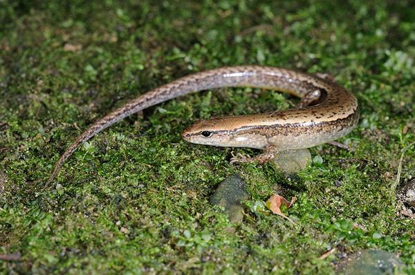 台灣滑蜥(Scincella formosensis)