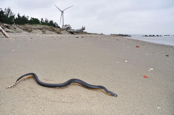 黑背海蛇(Pelamis platurus)