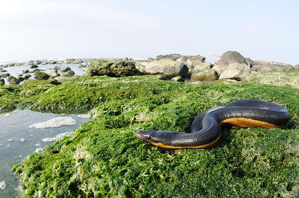 黑背海蛇帶景魚眼照