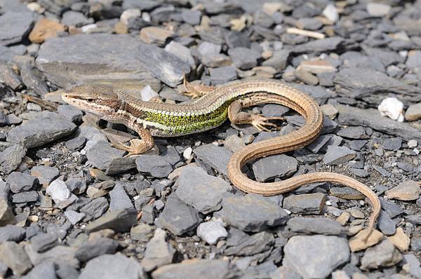 雪山草蜥(Takydromus hsuehshanensis)
