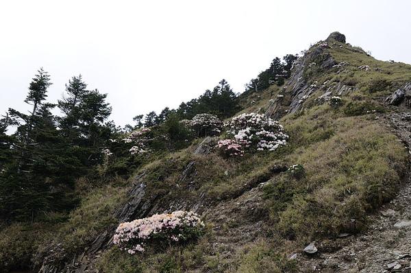 合歡山上的高山杜鵑盛開了!!