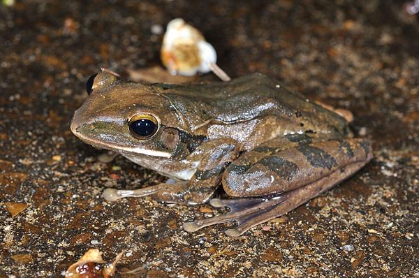 斑腿泛樹蛙(白顎蛙,Polypedates megacephalus)