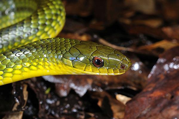 琉球青蛇大頭照