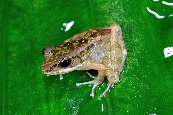 沖繩尖鼻蛙