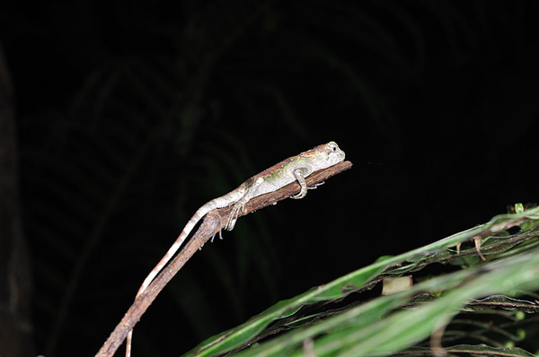 睡覺中的沖繩攀蜥(沖繩木登蜥蜴,Japalura polygonata polygonata)