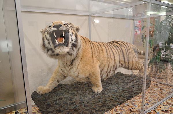 西伯利亞虎標本