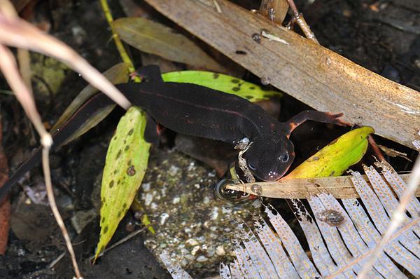 泡在水中的劍尾蠑螈