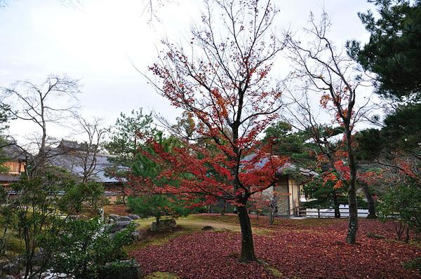 艷麗的楓樹