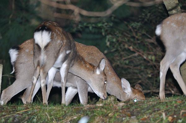 日本梅花鹿