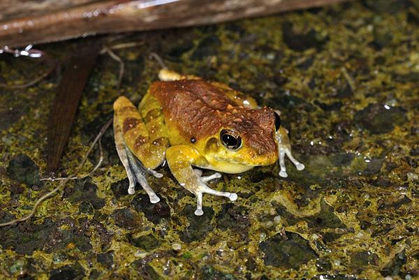 日本樹蛙(琉球河鹿蛙,Buergeria japonica)