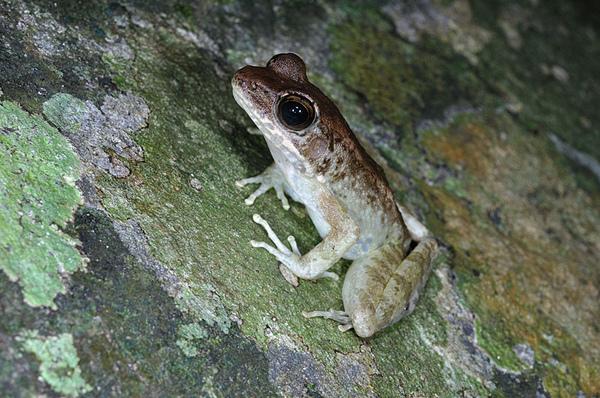沖繩尖鼻蛙(鼻先蛙,Rana narina)