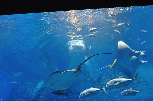 其實跟一般的錦鯉之類的吃浮水性飼料差不多...