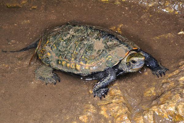 日本石龜(Mauremys japonica)