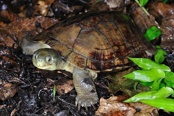在西表島遇到的唯一一隻八重山柴棺龜