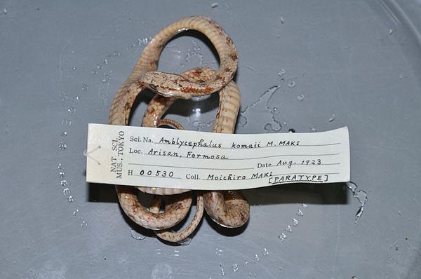 駒井氏鈍頭蛇的正模標本(Paratype)