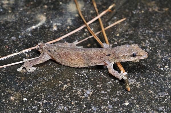 鱗趾虎(小笠原守宮,Lepidodactylus lugubris)