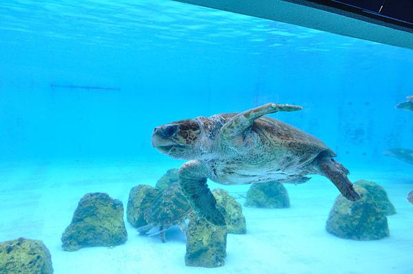 這隻海龜的頭特別大~