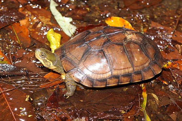 產於台灣蓮華池的柴棺龜(Mauremys mutica mutica)
