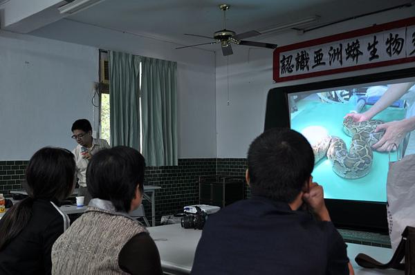 給緬甸蟒以外科方式植入體內發報器...