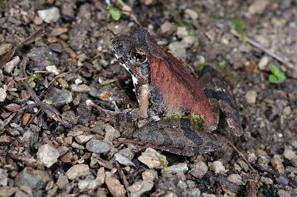 日本樹蛙(沖繩河鹿蛙,Buergeria japonica)