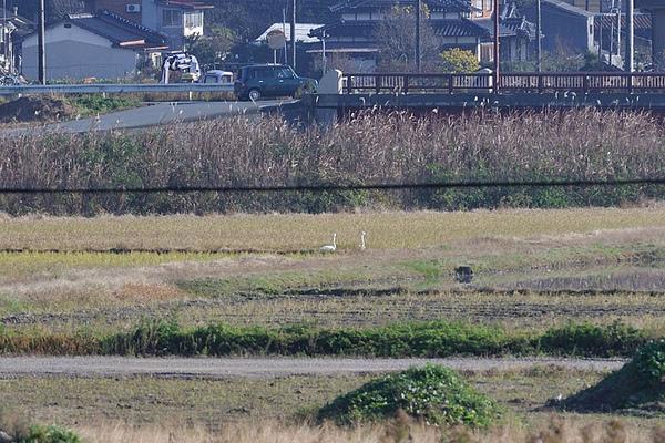 遠方的兩隻天鵝