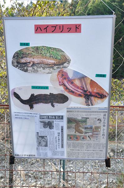 難以解決的京都賀茂川日本大山椒魚和中國娃娃魚的雜交問題