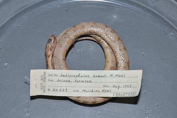 駒井氏鈍頭蛇(Pareas komaii)的正模標本(Holotype)