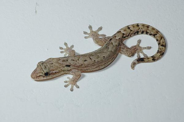 鱗趾虎(Lepidodactylus lugubris)