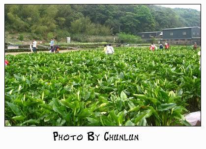 2008.04.05 - 陽明山海芋季