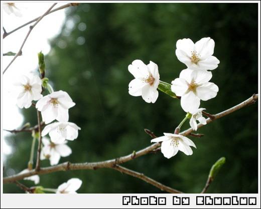嵐山 - 櫻花