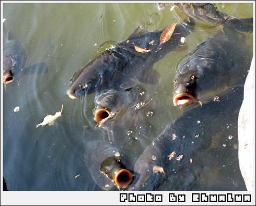 平安神宮 - 魚