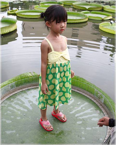 大王蓮 (7)