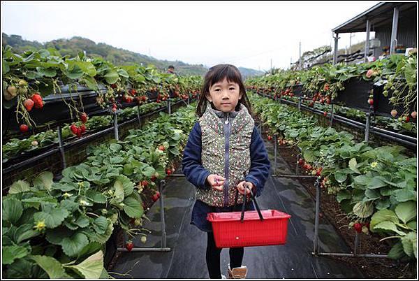 大湖採草莓 (3)
