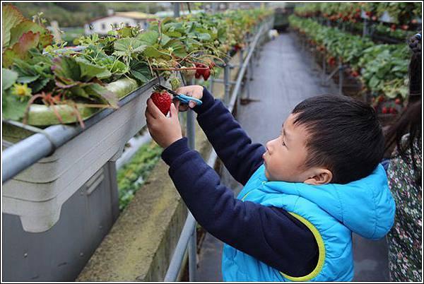 大湖採草莓 (4)
