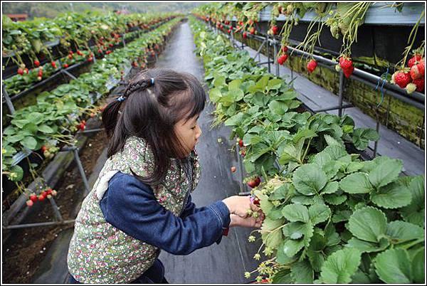 大湖採草莓 (5)