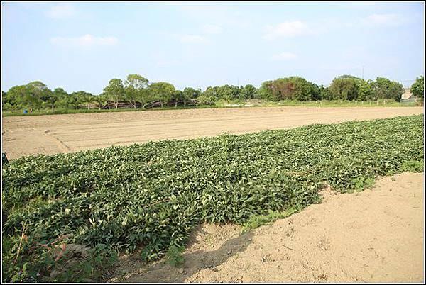 奇美農場挖地瓜 (22)
