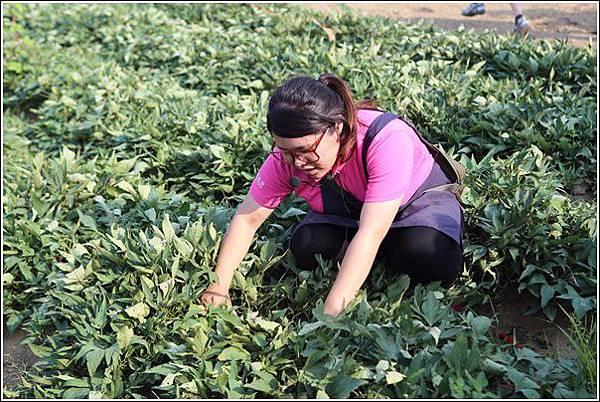 奇美農場挖地瓜 (24)