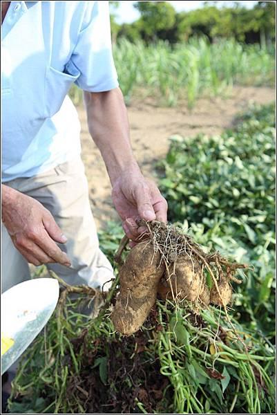 奇美農場挖地瓜 (31)
