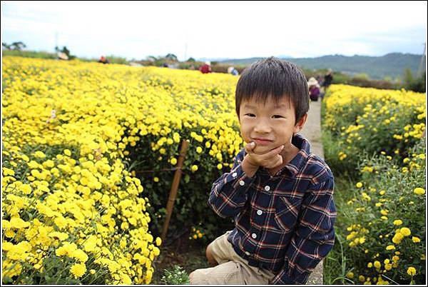 銅鑼杭菊 (15)