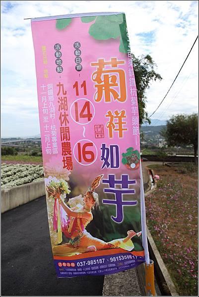 銅鑼杭菊 (36)