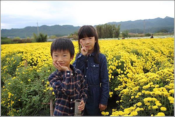 銅鑼杭菊 (40)