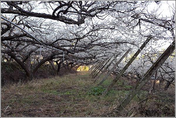梅花森林 (6)