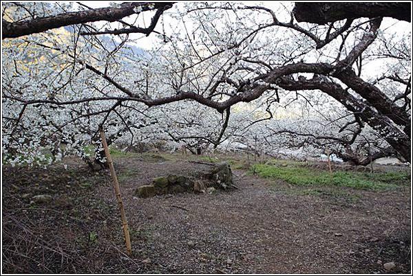 梅花森林 (9)