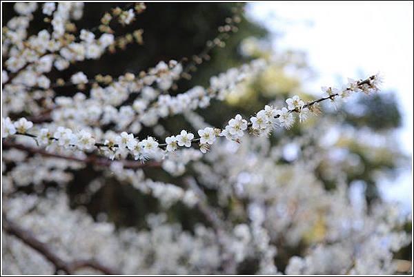 梅花森林 (23)
