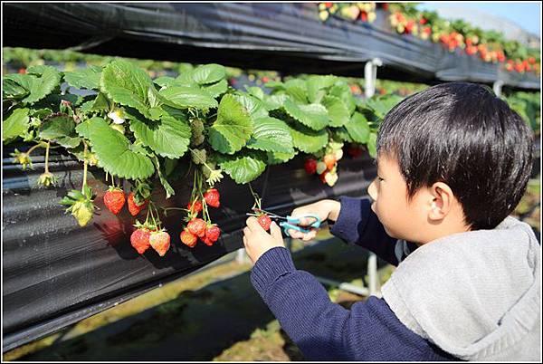 大湖採草莓 (9)