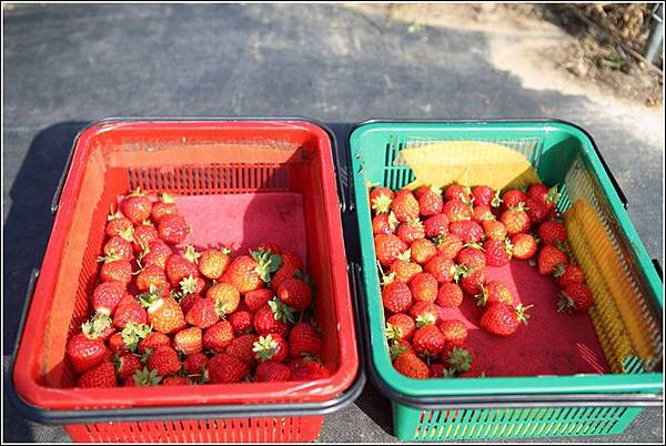 大湖採草莓 (13)